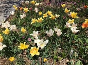Colo-State-BloomingFlowers