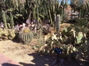 Univ-of-Arizona-cactus-2